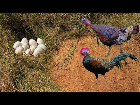 Primitive Technology: Awesome Quick Turkey Trap Using Traditional Trap That Work 100%
