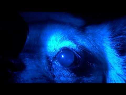 Клинический случай: собака, чихуахуа, потеря зрения