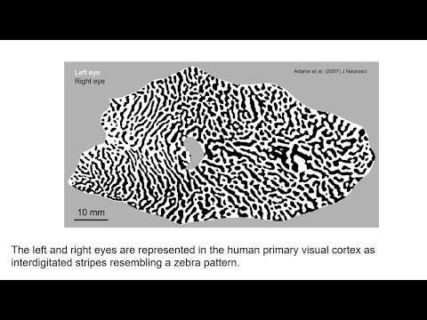 Scientists Explain the Origin of Brain Mapping Diversity for Eye Dominance