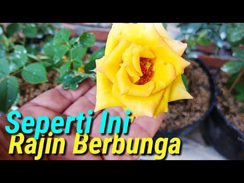 Cara Merawat Bunga Mawar Dalam Pot