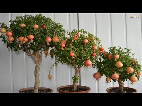 Fruit Tree - Wholesale Price for Fruit Tree in India