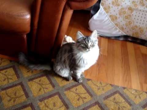 Siberian cat - Neiko 5 months old - tricks