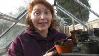 Pricking Out Cauliflowers - Part 459 - Claires Allotment