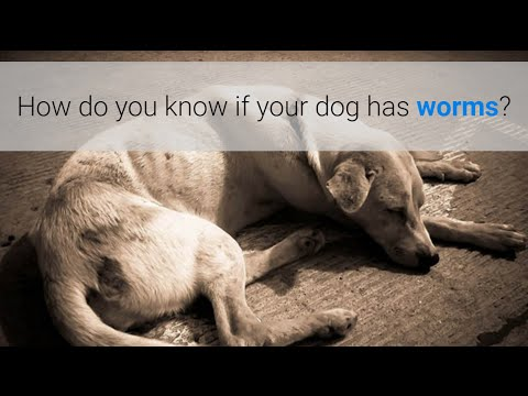 Video How do you know if your dog has worms? 5 symptoms