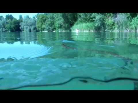 Ringelnatter im See, Burkheimer Baggersee,Baden Württemberg,Deutschland