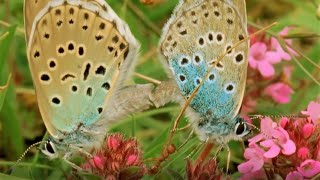 Beautiful Butterfly Moments | BBC Earth