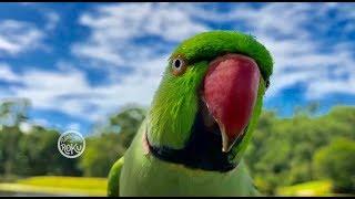 Free Flight Parrot Day 8 3_17