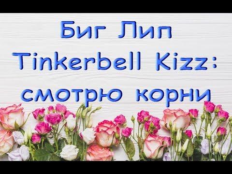 """ОРХИДЕЯ phal.""""Tinkerbell Kizz"""" BigLip:смотрю КОРНИ (и ругаю ТОЛЬКО СЕБЯ :))"""