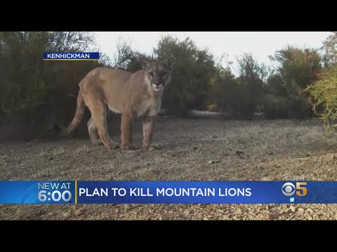 Peninsula Lawmakers May Give Ranchers Permit To Shoot Mountain Lions