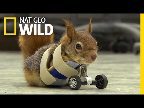 Squirrel Gets Wheels to Replace Missing Front Legs
