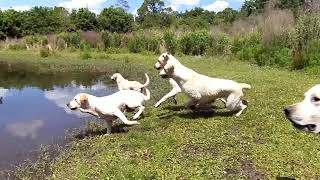 Copy of AWESOME LEAPING LABRADORS!!!!!!!