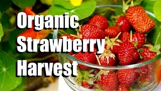Organic Strawberry Harvest from the Strawberry Crate Tower with CaliKim and CameraGuy