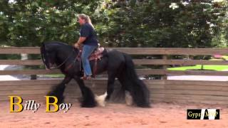 Billy Boy | Gypsy Vanner Horses for Sale | Gelding | Black Bay