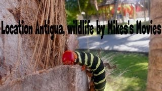 preview picture of video 'Wildlife Antigua in HD. Amazing animals in the Caribbean seen on holiday'