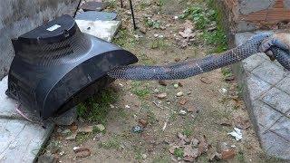 Phát Hiện Con Rắn Hổ Khổng Lồ Ẩn Nấp Trong Tivi Cổ . ASMR Amazing TV repair catch big snake