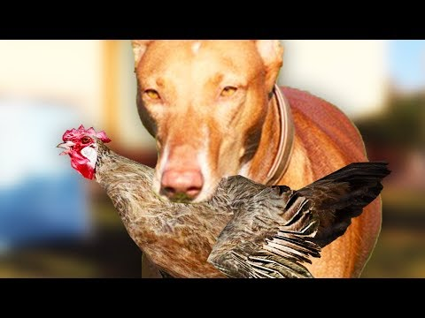 MY DOG ATTACKED MY CHICKEN! (Vlog)
