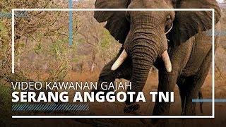 Kawanan Gajah Liar Serang Prajurit TNI AD di Sumatera Selatan