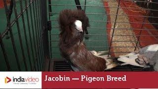 Jacobin - a Fancy Pigeon Breed