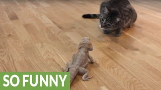 Curious Cat Meets Friendly Bearded Dragon