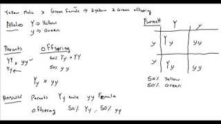 Genetics Monohybrid Cross Determining Parent Genotypes (P1) And Offspring (F1)