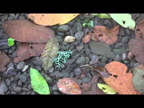 Poison Dart Frogs Fighting in Costa Rica