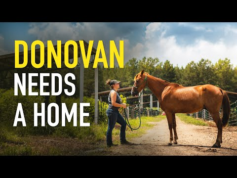 Donovan, an adopted Tennessee Walker in Hohenwald , TN_image-1