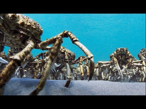 une arm e d araign es de mer se d barrassent de leurs. Black Bedroom Furniture Sets. Home Design Ideas
