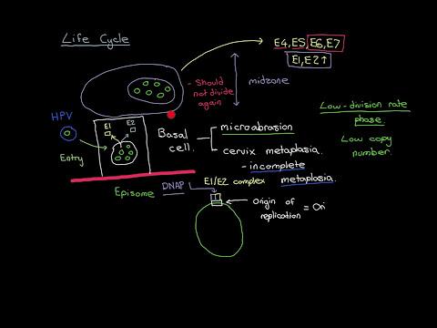 Human papillomavirus infection research