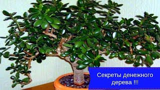 Секреты денежного дерева !!! Чтобы дома водились деньги !!!