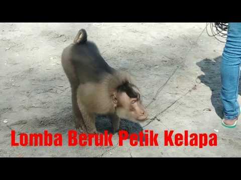 Lomba Unik di Pariaman, Lomba Beruk/Monyet Petik Buah Kelapa