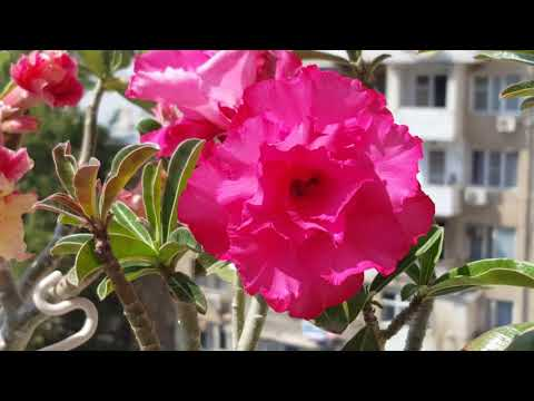 Adenium Pink Peony & Sunset Venice