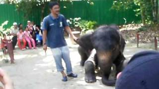 Gajah Kuala Gandah Temerloh Pahang.AVI