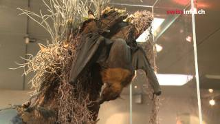 Why Swiss bats are endangered