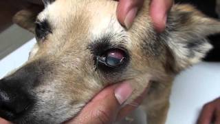 Glaucoma in a Dog