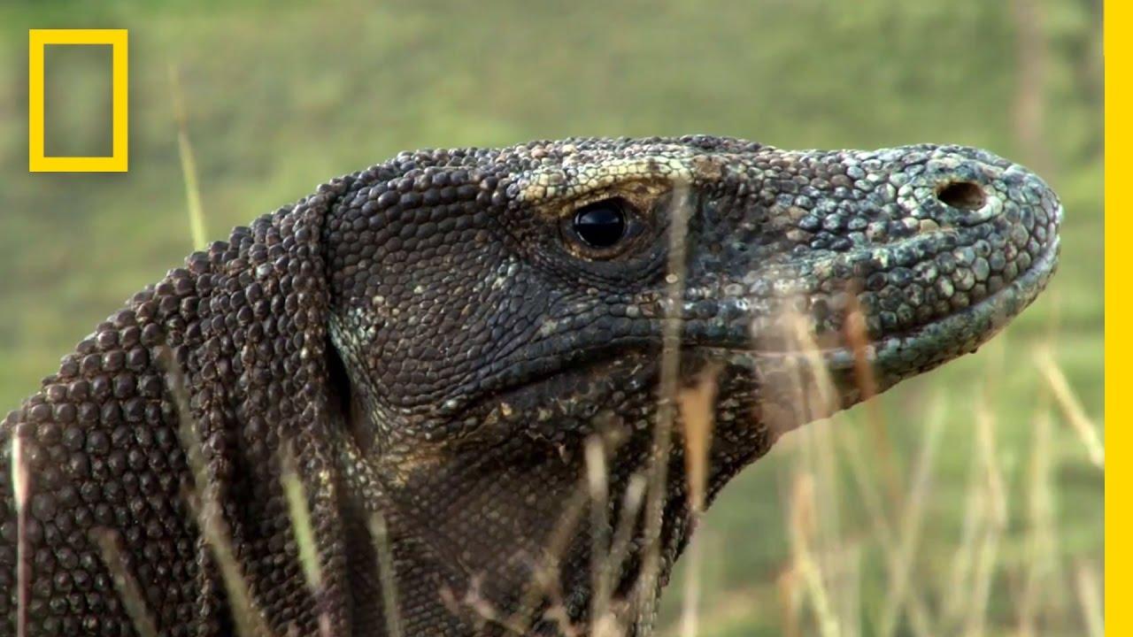 Living Among Ancient Dragons   National Geographic thumbnail