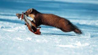 Пушистая хитрюга - КУНИЦА В ДЕЛЕ! Куница против мышей, белок, зайцев, кошек, собак, и даже обезьяны!