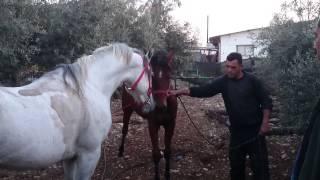 صلاة النبي الحصان نور لهيب (الخيل العربي الاصيل)(الفرس الاصيل)