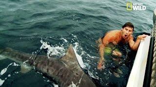 Un baigneur surpris par un requin tigre