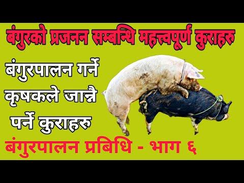 बंगुरकाे प्रजनन सम्बन्धि A to Z जानकारी । Pig farming in Nepal । AgroDev Nepal