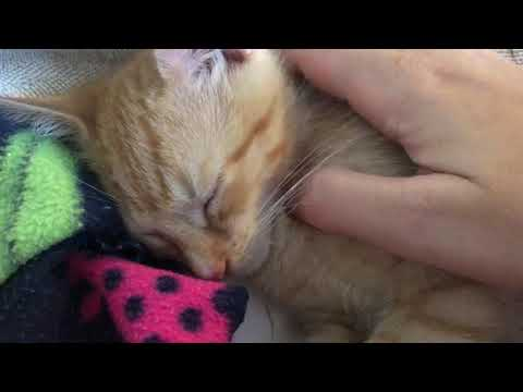 Theodore-Adoption Pending!, an adopted Domestic Short Hair & Tabby Mix in Colmar, PA