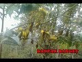 Pikat burung pleci di alam liar dapat banyak banget menggunakan mp3