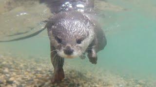An Otter swimming in Lake Biwa [Otter life Day 191] 琵琶湖を泳ぐカワウソ