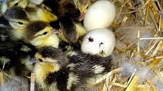 Как узнать что уточка села на гнездо