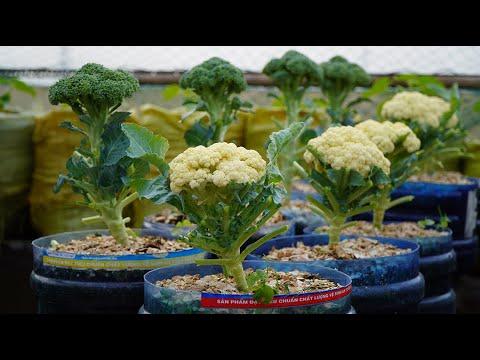 Trồng súp lơ thế này vừa có ăn lại chẳng lo sâu bệnh  Growing cauliflower, both have eat & not pests