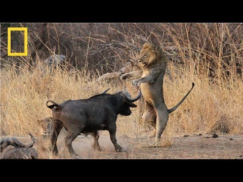 National Geographic | Lion vs Buffalo  | Nat Geo Documentary