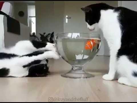 Anteprima Video Gatti che giocano con un pesce pagliaccio