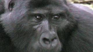 preview picture of video 'Tracking the Nkoringo Gorillas'