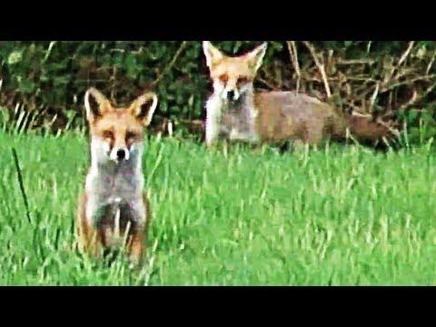 Fieldsports Britain – Australian-rules fox shooting + YouTubers who hunt