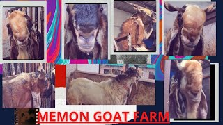 Memon Goat Farm | Kota Goat Factory | Mumbai | Tour Of SetUp | Mumbai | All Big Kota | Wasim Memon