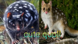 quoll|the amazing animal quoll|Tiger quoll|Quall baby|cute quoll| quoll sound|the viral animal life